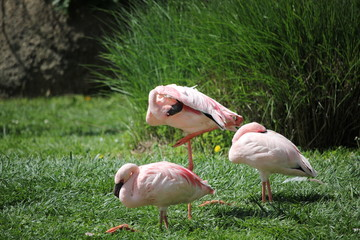 Group of flamingos in the grass