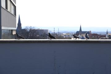 Tauben auf dem Dach