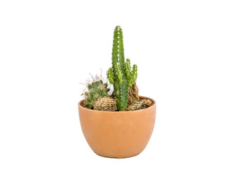 Green small cactus set in brown vase on white background