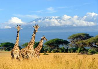 Three giraffe on Kilimanjaro mount background in National park of Kenya