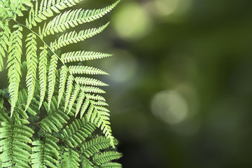 Beautiful Pattern of Tree Fern Leaves and Green Bokeh Background.