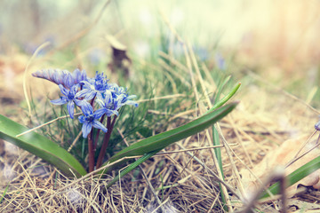 Beautiful spring flowers nature background. Wild growing blue snowdrop, Scilla bifolia, blue early spring flower. Holidays Easter, valentine, mothers day picture with copy space. Toned.