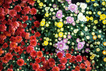Colorful blooming Chrysanthemums with green leaves background