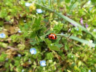 ナナホシテントウとあぶらむし ladybug and aphid