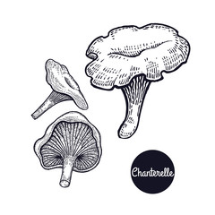 Vintage engravings mushroom Chanterelle.