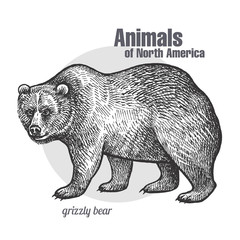 Animal of North America Grizzly bear.