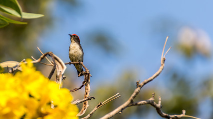 Bird (Scarlet-backed Flowerpecker) on a tree