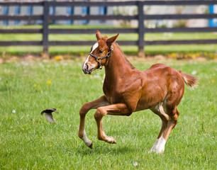 Kentucky Thoroughbred Horse