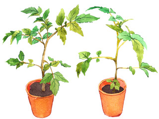 Potted tomato seedlings, hand-painted watercolor illustration.