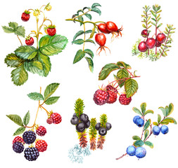 A set of watercolor wild forest berries: crowberry (Empetrum nigrum), dog rose (Briar), blackberry, raspberry, cranberry, blueberry, strawberry. Isolated on white background.