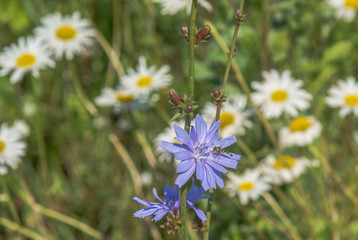 Wildflowers. Camomiles, chicory.