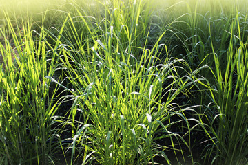 Panicum virgatum, commonly known as switchgrass, is a perennial bunchgrass . Wall mural