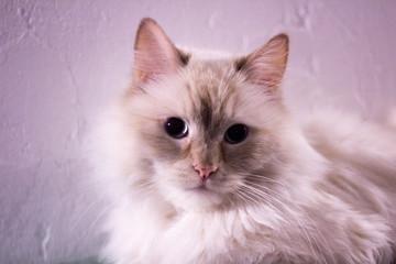 Unusual close-up cat portrait, Textured white background