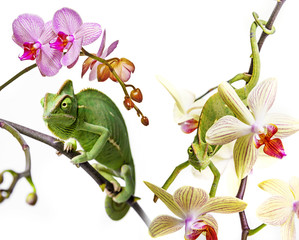 Fototapete - chameleons on an orchids