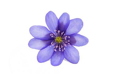 Hepatica Nobilis - first Spring flower