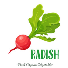 Vector radish vegetable
