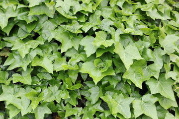 Ivy bush background texture