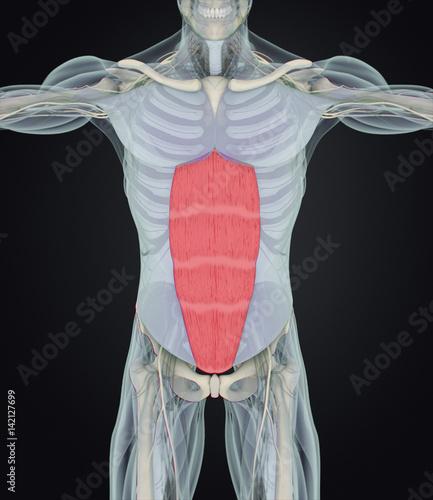 Rectus abdominis anatomy