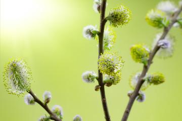 Frühlingsboten - Nahaufnahme von Weidekätzchen im Sonnenschein