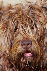 portrait of portuguese shepherd dog