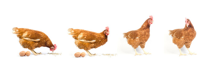 Set of brown chicken isolated on white., studio shot.