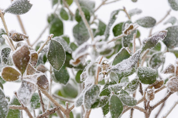 Close up to a bush with still green leaves caught in hoarfrost. Shallow depth of field, abstract background.