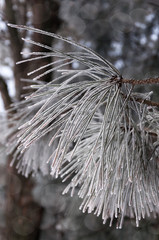 Frozen pine needles -Detail of a pine tree branch with the needles covered with hoarfrost in defocused background.
