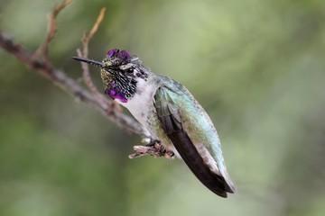 Fotoväggar - Male Costa's Hummingbird (Calypte costae)