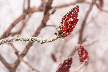 Dressed in Christmas colors -Frozen twig with a red flower in snow and ice over snowy defocused background.