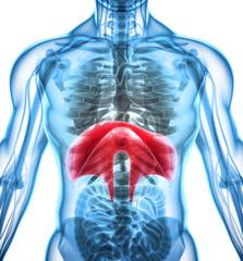 3D illustration of Diaphragm, medical concept.