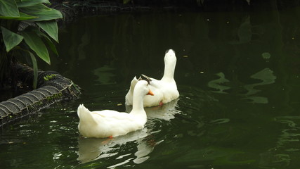 Ducks Swimming on the lake