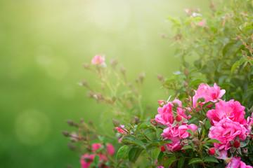 Garden roses in sunlight background