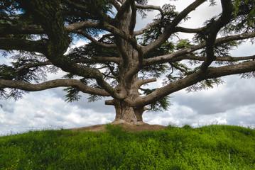 Albero di cedro nelle langhe