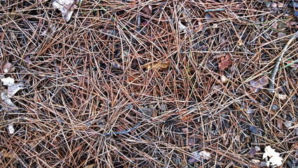 Pine needles on the ground