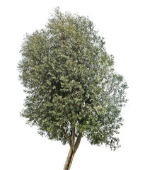 Olive tree on white