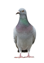 portrait full body of speed racing pigeon bird isolate white background