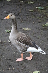Greylag goose in Hyde Park London, United Kingdom