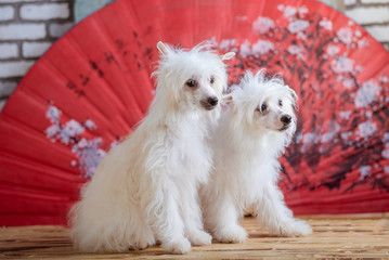 Chinese Crested Dog Studio photo