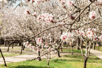 Almond trees in bloom in Spain, selective focus
