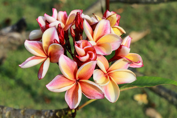 Plumeria flowers (plumeria).frangipani tropical flower, plumeria flower are bloom.