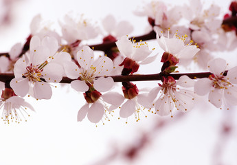 Branch with blossoms