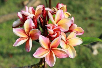 Plumeria flowers (plumeria).frangipani tropical flower, plumeria flower are bloom.
