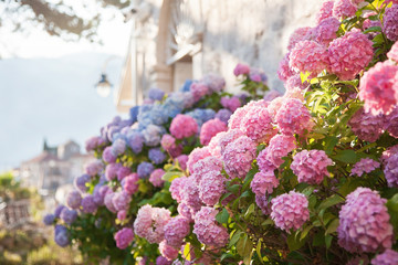 Wall Murals Hydrangea Pink, blue hydrangea flowers are blooming in spring and summer at sunset in town garden.