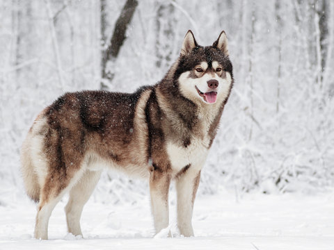 Brown Siberian husky standing in the snow in a snowy forest