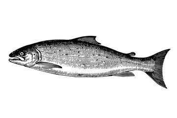 Salmon - Vintage Engraving Illustration