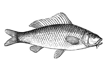 Carp - Vintage Engraving Illustration