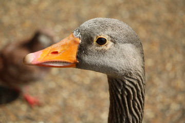 Face of a Greylag goose in Hyde Park London, United Kingdom