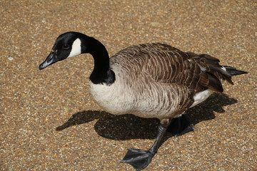 Branta canadensis at Serpentine Lake in Hyde Park London, Great Britain