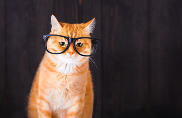 Domestic tabby cat with eyeglasses.