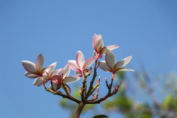 A photo of beautiful Plumeria flowers on a holiday.